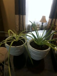 Aloe and spider plant in  ceramic pot Laval, H7G 2W7