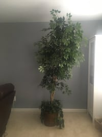 7.5ft Potted Ficus Tree (artificial) Mount Holly, 28120