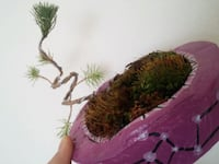 Mini çam bonsai