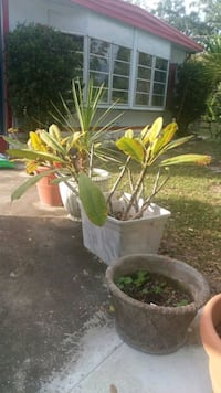 Plumeria Plants and flower pots for dale