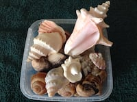 Whole box of sea shells 4 only $5.00 Brantford, N3V