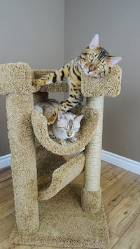 Beige cat tree and two short-fur brown and gray cats Phoenix, 85023