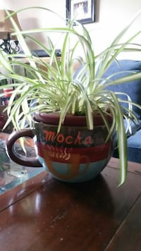 Spider plant in a VERY LARGE COFFEE CUP.