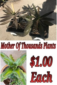 mother of thousand plants Hacienda Heights