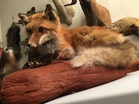Taxidermy FOX Las Vegas, 89117