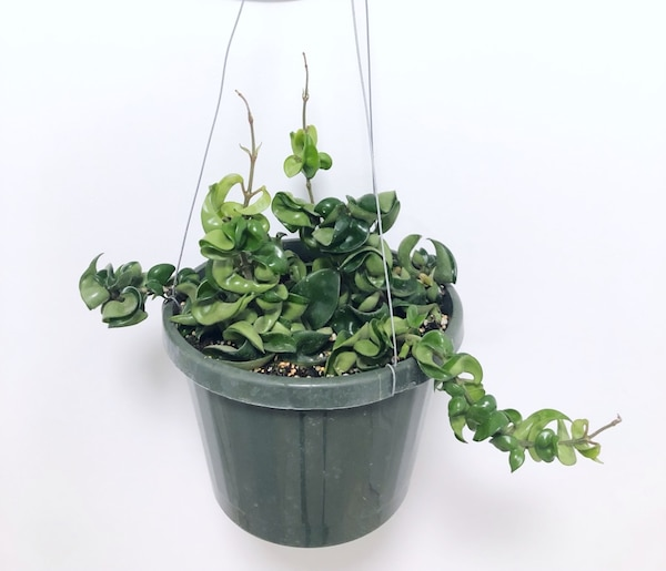 Used Hindu Rope Plant Hoya Carnosa Compact For Sale In Markham Letgo