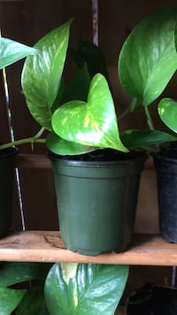 green leaf plant in black pot Mississauga, L5J 3A8