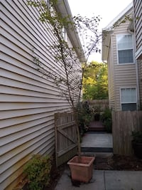 """Healthy 5 year old 15 foot American Elm/ Water Elm Tree in a 17"""" x 17"""" Container Virginia Beach"""