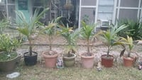 three green leaf plants with pots West Palm Beach, 33417