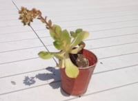 Succulent plant, 6 inches tall
