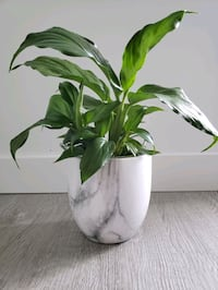 """Peace lily with pot 12"""" total Vancouver"""