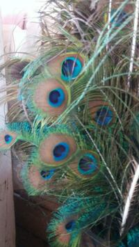 peacock feathers  Perris, 92570