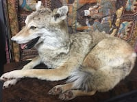 Taxidermy coyote life size reclining. Las Vegas, 89117