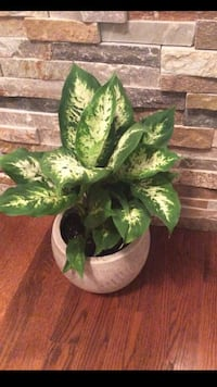 Beautiful house plant in the cute new pot Aurora, 80012