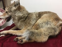 TAXIDERMY LIFE SIZE COYOTE! Las Vegas, 89117