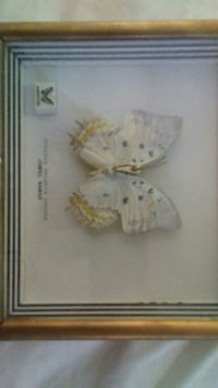 white Butterfly taxidermy