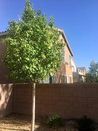 Beautiful tree for your backyard outdoor  Las Vegas, 89179