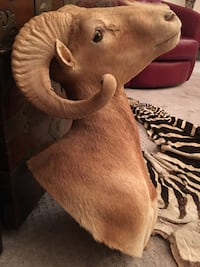 TAXIDERMY DALL SHEEP SHOULDER MOUNT Las Vegas, 89117