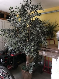 green ficus plant