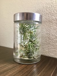 A glass tube full of beautiful air plants!