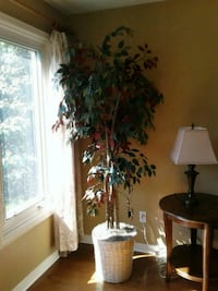 Ficus tree 7 ft Burlington, L7M 2Z3