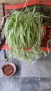 Spider plant babies  priced from $2 each  - $6 each