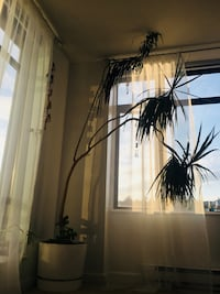 Beautiful palm tree. Needs high ceilings as it grew too high.    New Westminster, V3M 1G8