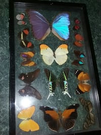 Real butterfly display case 15 and 3/4 inches x 9