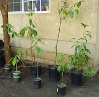 Hass Avocado trees! 2 left only $10 each!!!!