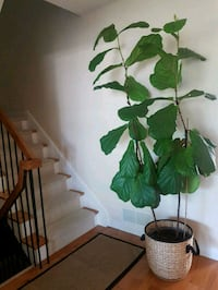 Fiddle Leaf Fig Tree 7 Feet Tall Mississauga, L5N 2B5
