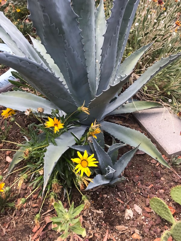 Sold Blue Agave Cactus Plants In Victorville Letgo