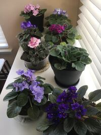 Home raised African Violets $25 a piece. Beautiful colorations and healthy leaves.  Bristow, 20136