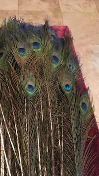 Peacock feathers with eye full length all natural beautiful decor for any room,wedding,parties household decoration  Kissimmee, 34741