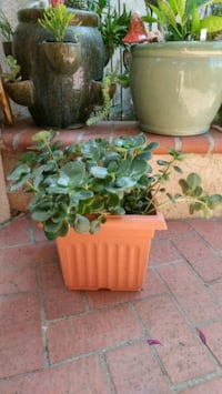 Potted Succulent Plant Westminster, 92683