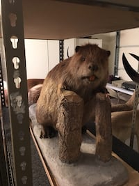 Taxidermy. Big BEAVER with wonderful face, great coat and big teeth! Las Vegas, 89117