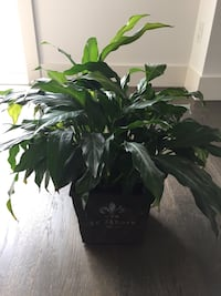 Peace lily house plant 538 km