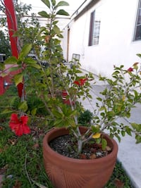 Red Hibiscus Plant in a clay pot