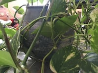 Suspected Philodendron (healthy) with vase 11 km