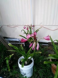 Red lilies Spring Hill, 34606