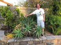 Large Aloe Vera plant. About 4'. Dig it up and take it home San Diego, 92131