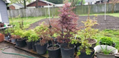 Japanese Maple Tree's for sale , beutiful tree's