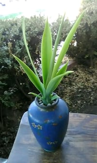 Yucca Plant in Antique Chinese Vase Modesto, 95350