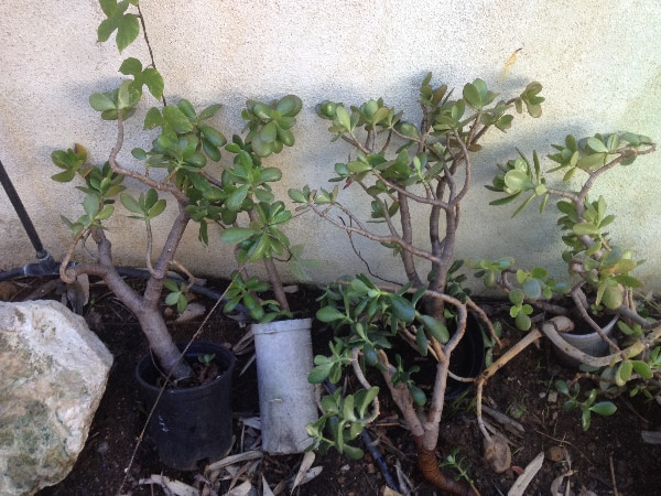 Rooted jade stalk 1-2 feet