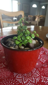 MOTHERS DAY.  Live succulent plant London, N6H 3B2