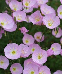 Oenothera speciosa is a species of evening primrose . Pink is the color . $2.00 each hand shovel Loudon, 37774