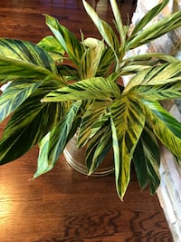 Beautiful and healthy house plant in the new pot Aurora, 80012