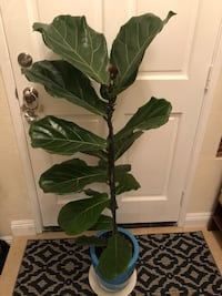 Fiddle figs plant ( 4 ft) pot included  San Marcos, 92069