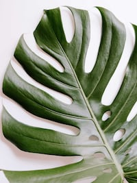 Monstera Deliciosa Mature Plant Cuttings Richmond Hill