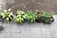 Hostas and Lily For Sale London