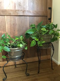 Pothos Plants; with plant stand (2)
